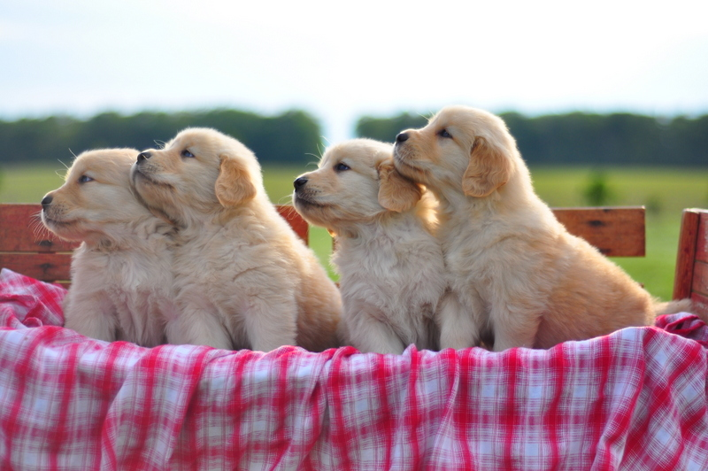 Golden retriever puppies for adoption in ohio